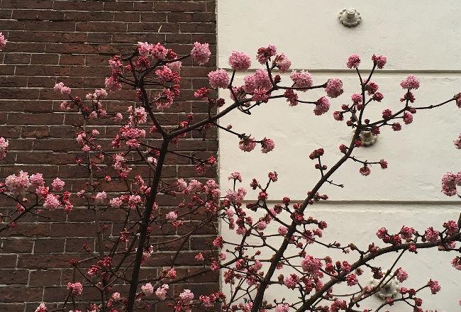 Lente - bloesem in februari