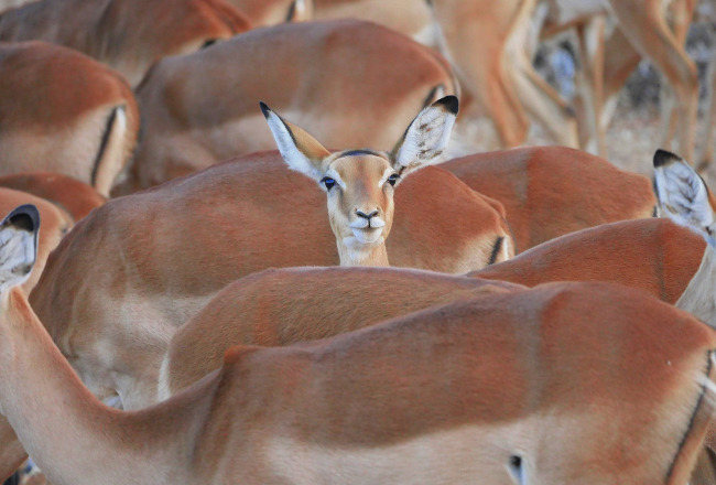 Luisterende impala